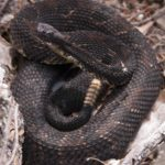 C-horridus dark adult K-Briggs
