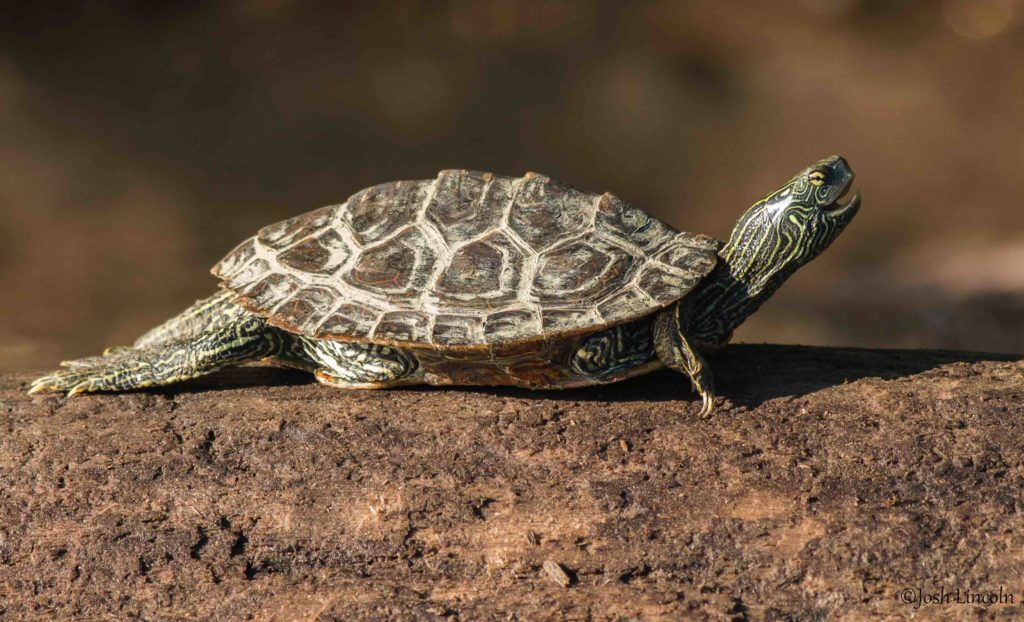 Graptemys geographica – Northern Map Turtle