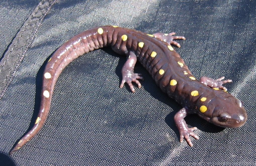 Ambystoma Maculatum Spotted Salamander Vermont Reptile
