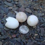A-spinifera & G-geographica eggs Steve Parren