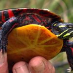 Male Painted Turtle by Sue Morse