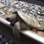 C-serpentina on tracks