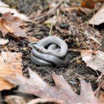 D. punctatus adult on ground2 Sharon Plumb