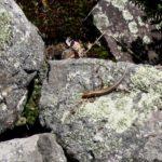 E. fasciatus adult on rock2 P. Steckler