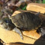 G-geographica hatchling Sue Morse
