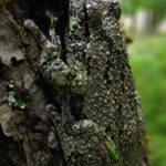H-versicolor, dark on tree, Sue Morse
