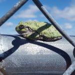 H-versicolor on metal fence, Williston, July 19, 2016, Christine Sabens