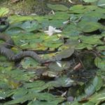 L-catesbeianus & N-sipedon, 9-1-2007, Lou Magnani