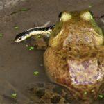 L-catesbeianus eating snake & dragofly W-Jenkins
