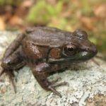 L-clamitans Green Frog KBriggs