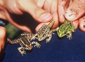 shows both Pickeral and Leopard frogs to show the differences between them. Photo courtesy Sue Morse.