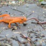 N. viridescens Red Eft eats worm Lynda Burt