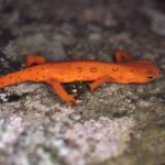 N. viridescens Red Eft on rock