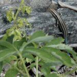 P. fasciatus juv & plant C. Slesar