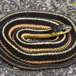 Common Garternake (Thamnophis sirtalis) South Hero, July 17, 2015, copyright David Hoag and used by permission