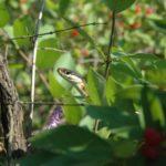 T. sauritus adult face in bush C. Slesar