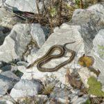 T. sirtalis adult dorsal on rock S.