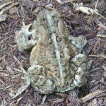 B. americanus dorsal on ground P. Etter