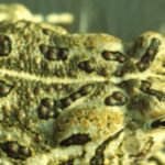 B. fowleri adult dorsal cropped