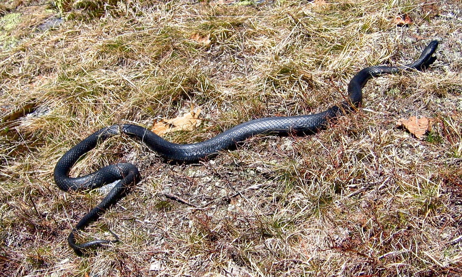 Coluber Constrictor North American Racer