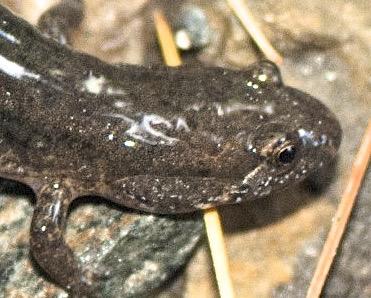 Good Amphibian Species To Keep At Room Temperature