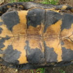E. blandingii 716 plastron copy