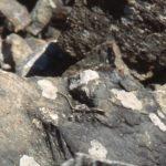 E. fasciatus adult on rocks