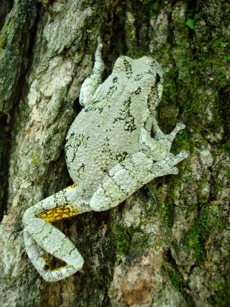 Gray Treefrog (Hyla versicolor) on bark of a tree. Photo by Molly Kennedy and used by permission.