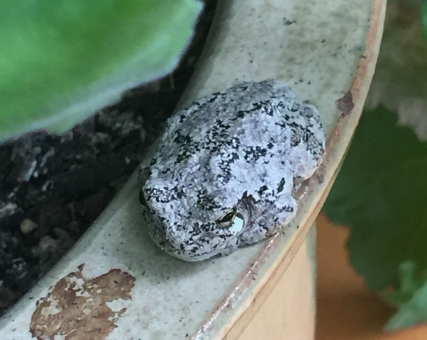 Gray Treefrog somewhat camoflaged on rim of ceramic planter.