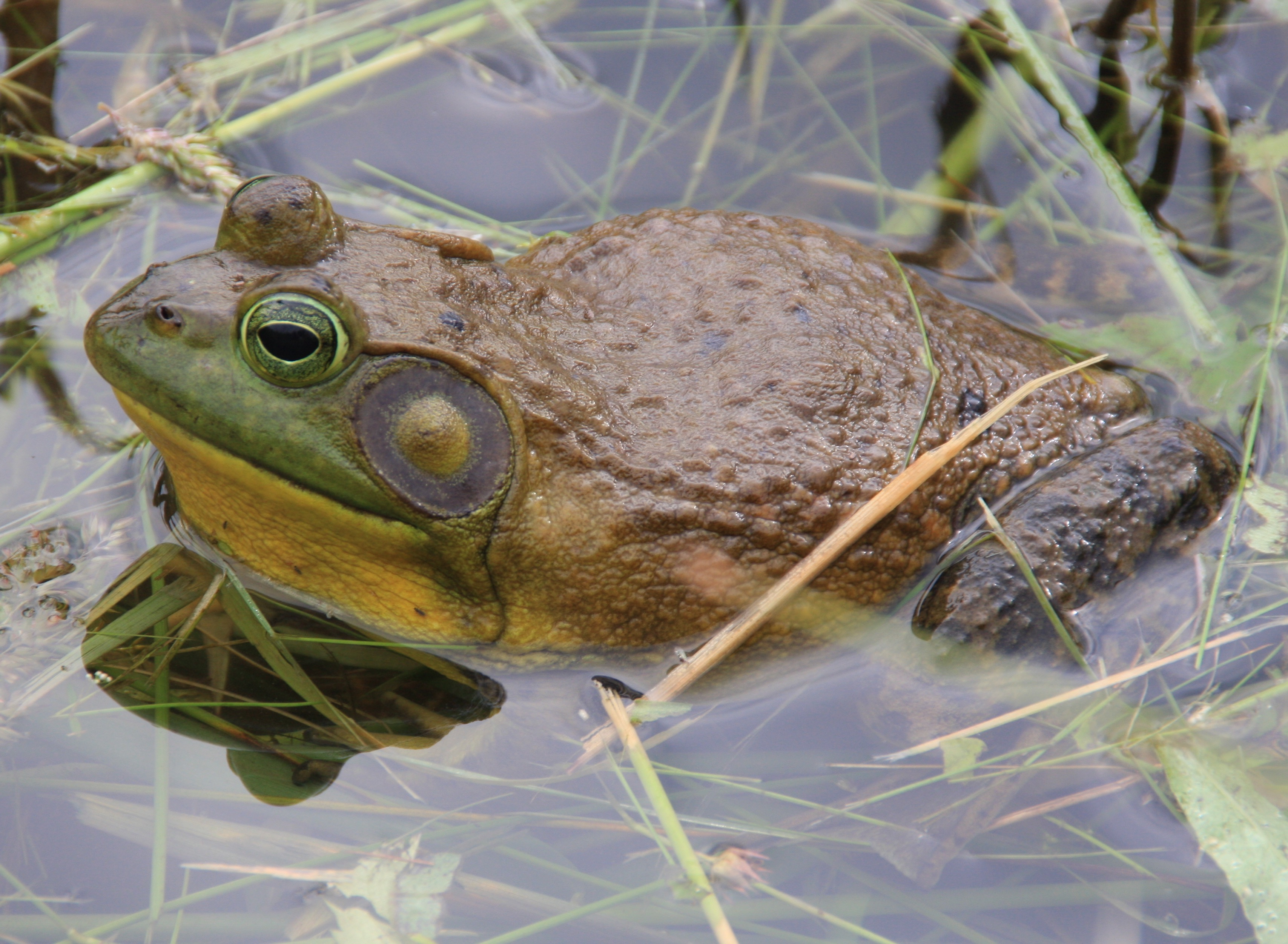 L-catesbeianus male in water John Bodin