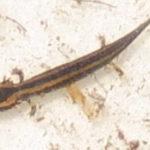 N. maculosus several juv. 1 M. Ferguson copy