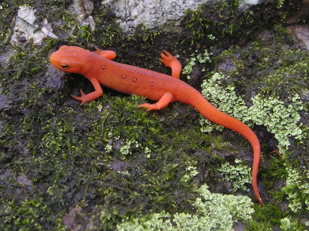 Red eft by T. Alexander