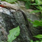 P-fasciatus adult male on rock (ear) Jay Plotkin