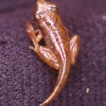 P. crucifer metamorph with tail on leg J. Zevallos