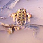 R. pipiens-swimming