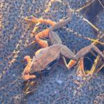 R. sylvatica – over eggs close
