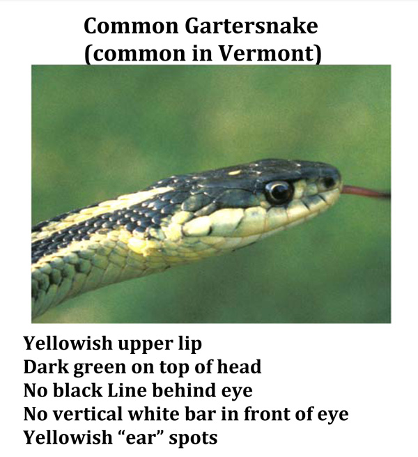 Photo: Head of a Common Gartersnake, with text regarding fieldmarks/