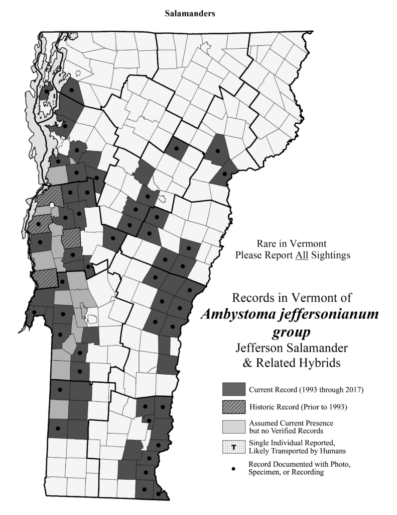 Records in Vermont of Ambystoma jeffersonianum group (Jefferson Salamander and related hybrids)