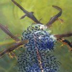 herpsTT4692_Eastern Spotted Newts w Frog Eggs Huntington VT