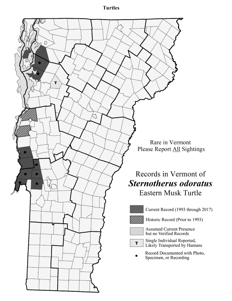 Records in Vermont of Sternotherus odoratus (Eastern Musk Turtle)